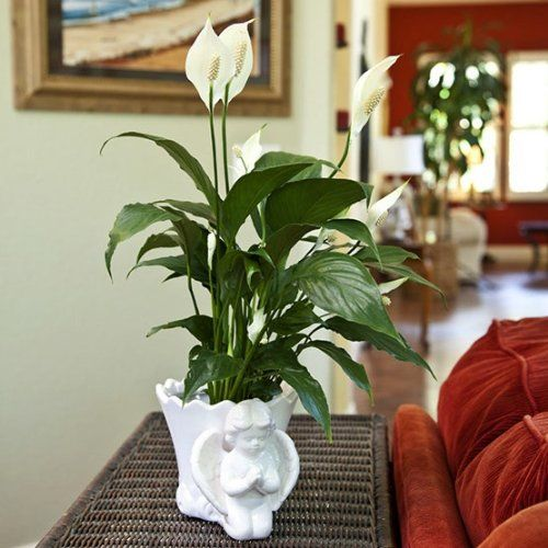 Sympathy Peace Lily